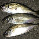 横浜、昨日のアジング爆釣の噂を聞いての翌日釣行。