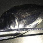 横浜、チニングにてまさかの年無し黒鯛!