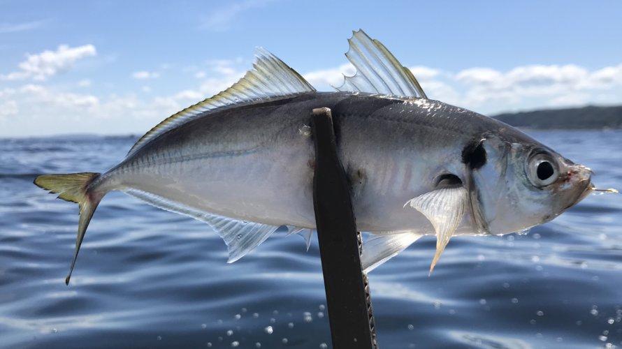 大津漁港、ボート釣行リベンジで太刀魚を狙う!