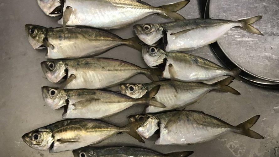 横浜、アジング爆釣の再現を!ゲストで可愛い初魚種。