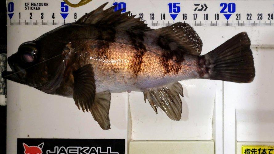 横浜、25cm以上のメバルはどこにいる!?