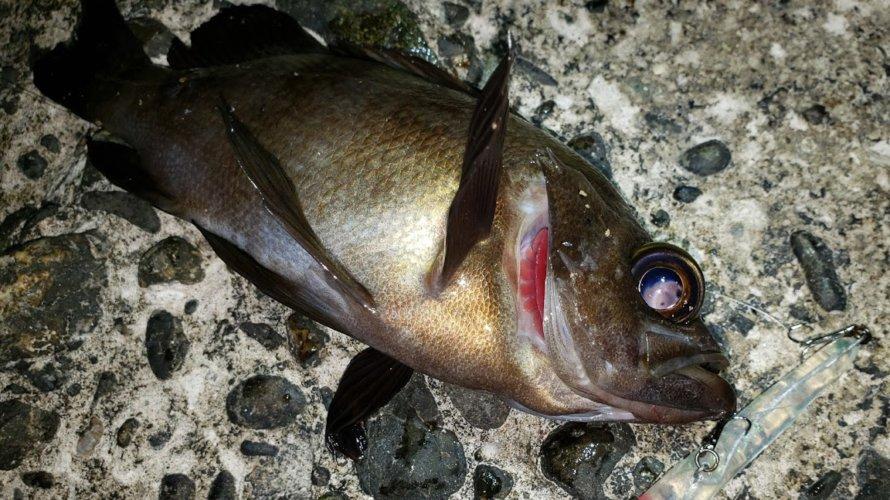 野島防波堤、メバリングにてメバル累計1000匹超+新作自作プラグ釣果