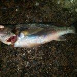横浜、アジングはゲスト多数にて初魚種も交じる