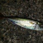 横浜、真夏の釣り…アジングもオクトパッシングも…撃沈
