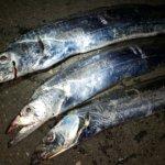横浜、タチウオテンヤで短時間釣行2日間。餌釣りなのにハマった理由