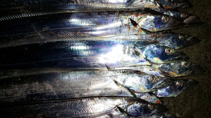 横浜、タチウオテンヤで1回の平均釣果がほぼツヌケ!