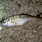 横浜、アジング後タチウオテンヤでアジで太刀魚を釣る。