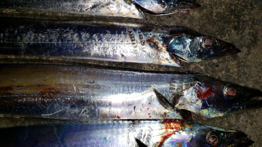 横浜、連日釣行タチウオテンヤとアジングでモヤモヤ…