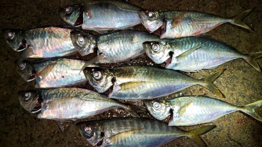 横浜、アジングにて太刀魚の猛攻!しかしアジ、太刀魚共にツヌケ!