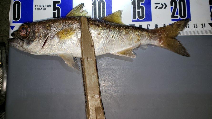 横浜、アジングでアジが釣れない代わりに初魚種