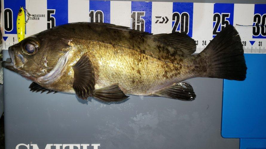 横須賀、メバリングにて3連続釣行泣き尺のブルーバック!