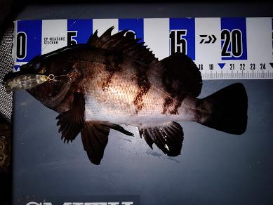 横浜、メバリング総釣果1111匹!