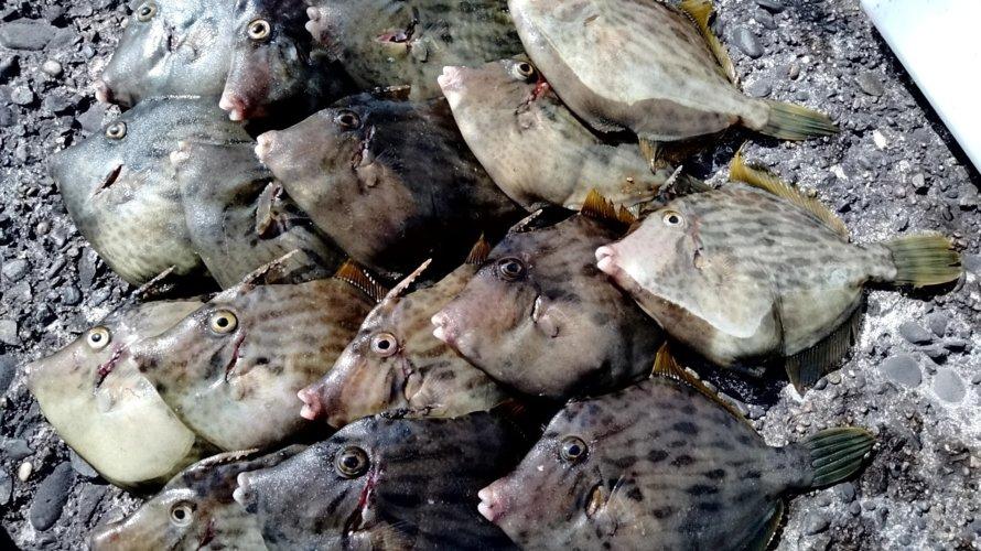 木更津沖堤、初カワハギ釣りで気づいたこと。